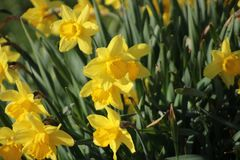 Narcisos amarelos na grama em Capelle Aan Den Ijssel na manhã Foto de Stock Royalty Free