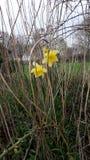narcisos amarelos na grama seca Fotos de Stock Royalty Free