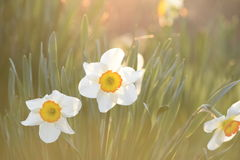 Narcisos amarelos na luz do sol imagem de stock