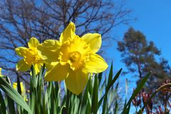 Narcisos amarelos na mola Imagem de Stock