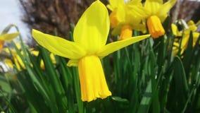 Narcisos amarelos na mola Fotografia de Stock