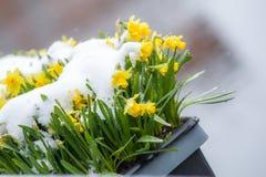Narcisos amarelos na neve Fotos de Stock