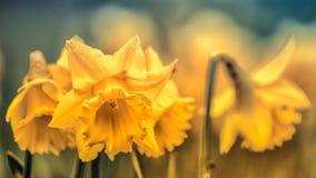 Narcisos amarelos na primavera Imagem sazonal fotos de stock royalty free