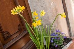 Narcisos amarelos na rua em uma vila alsatian típica Foto de Stock