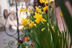 Narcisos amarelos na rua em uma vila alsatian típica Fotos de Stock Royalty Free