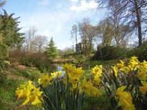 Narcisos amarelos nas terras Fotografia de Stock Royalty Free