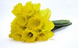 Narcisos amarelos no backgound branco Imagem de Stock Royalty Free