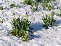 Narcisos amarelos no botão e nos açafrões que florescem na neve sorrir forçadamente do leste Foto de Stock