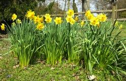 Narcisos amarelos no campo Imagem de Stock