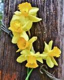 Narcisos amarelos no cargo Imagens de Stock Royalty Free