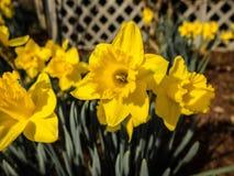 Narcisos amarelos no jardim Fotos de Stock Royalty Free