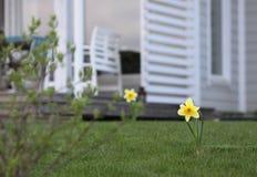 Narcisos amarelos no quintal imagens de stock royalty free