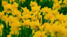 Narcisos amarelos no vento video estoque