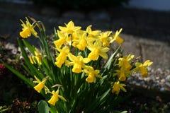 Narcisos amarelos pequenos Imagens de Stock