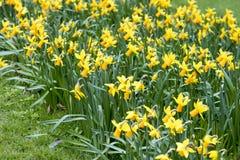 Narcisos amarelos que crescem fora Imagem de Stock Royalty Free
