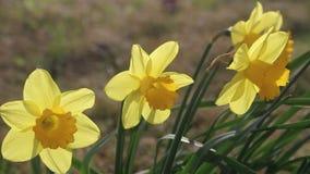 Narcisos amarelos que fundem no vento video estoque