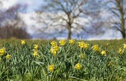 Narcisos amarelos selvagens em um dia ensolarado Fotos de Stock Royalty Free