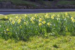 Narcisos amarelos selvagens em um parque Imagens de Stock Royalty Free