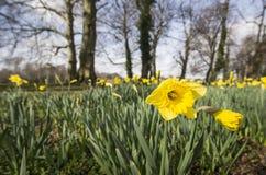Narcisos amarillos Imagenes de archivo