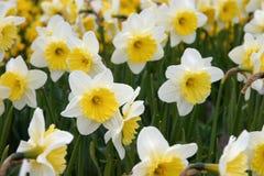 Narcisos amarillos Fotos de archivo libres de regalías