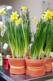 Narcisos amarillos brillantes Fotografía de archivo