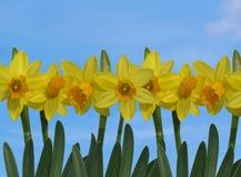 Narcisos amarillos con el cielo azul Imagen de archivo libre de regalías