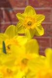 Narcisos amarillos con el fondo del ladrillo rojo Fotos de archivo