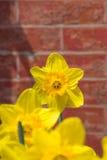 Narcisos amarillos contra la pared de ladrillo roja Imágenes de archivo libres de regalías