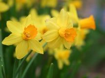 Narcisos amarillos de la primavera Imagen de archivo libre de regalías