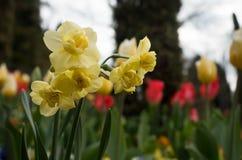 Narcisos amarillos en el jardín Fotografía de archivo libre de regalías