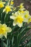 Narcisos amarillos en el parque en primavera Imagen de archivo libre de regalías