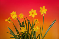 Narcisos amarillos en fondo de la pendiente del color Imagen de archivo