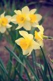 Narcisos amarillos hermosos Fotos de archivo