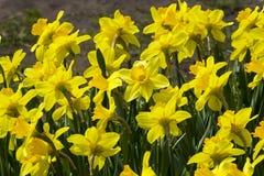 Narcisos amarillos hermosos fotografía de archivo libre de regalías