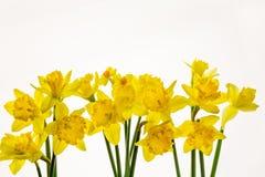 Narcisos amarillos vibrantes aislados en el fondo blanco -7 fotografía de archivo libre de regalías