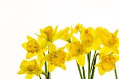 Narcisos amarillos vibrantes aislados en el fondo blanco -8 imagen de archivo