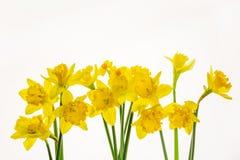 Narcisos amarillos vibrantes aislados en el fondo blanco -9 fotografía de archivo libre de regalías