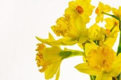 Narcisos amarillos vibrantes aislados en el fondo blanco -2 imágenes de archivo libres de regalías