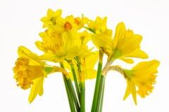 Narcisos amarillos vibrantes aislados en el fondo blanco -1 fotografía de archivo libre de regalías