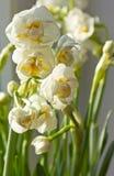 Narcisos blancos Foto de archivo