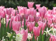 Narcisos blancos de los tulipanes del rosa fotografía de archivo