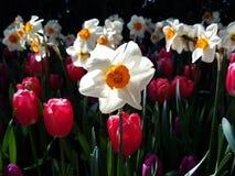 Narcisos blancos retroiluminados y tulipanes rojos imagenes de archivo
