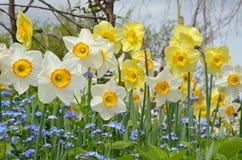 Narcisos blancos y amarillos de la primavera Imagen de archivo