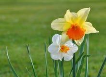 Narcisos bonitos Imagen de archivo