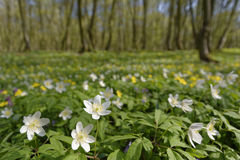 Narcisos brancos nas madeiras Imagem de Stock