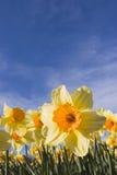 Narcisos contra el cielo azul fotos de archivo