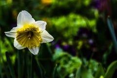 Narcisos de la flor Foto de archivo