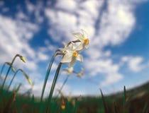 Narcisos de la primavera. Imagen de archivo