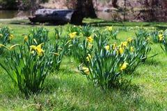 Narcisos de la primavera Foto de archivo libre de regalías