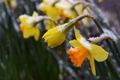 Narcisos de la primavera con una aspersión de la última nieve Fotografía de archivo